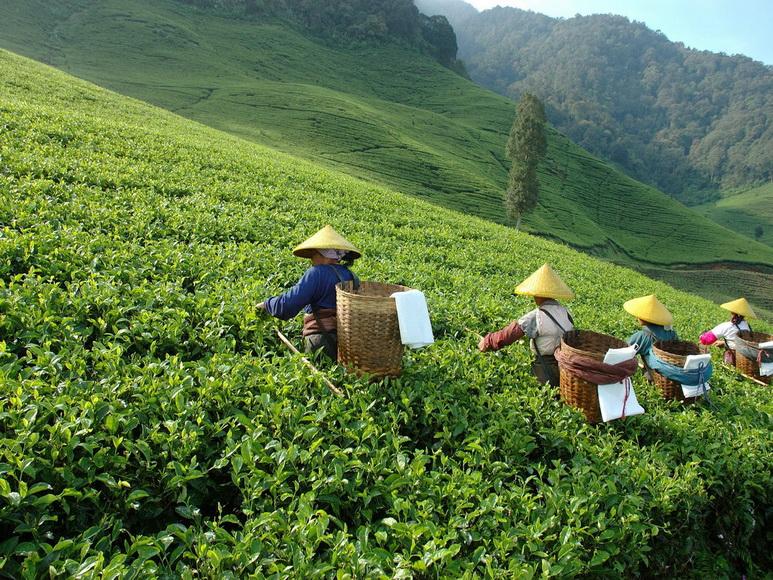 зеленый чай матча польза